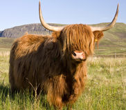 scottish-highland-cow-5371276
